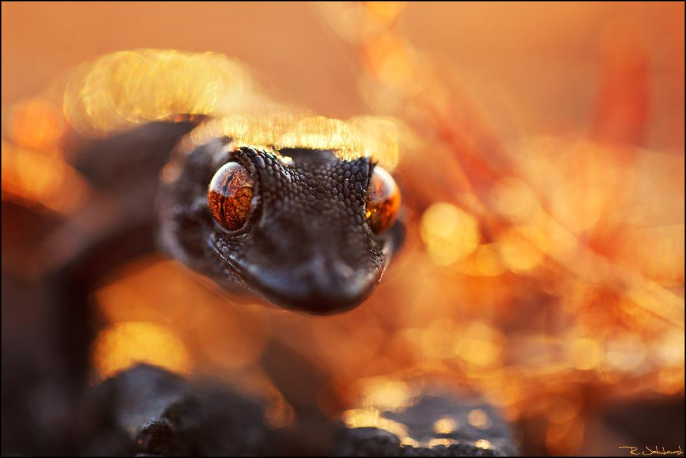 """GDT Naturfotograf des Jahres 2013 Kategorie andere Tiere 8. Platz """"Gecko aus der Hölle"""""""