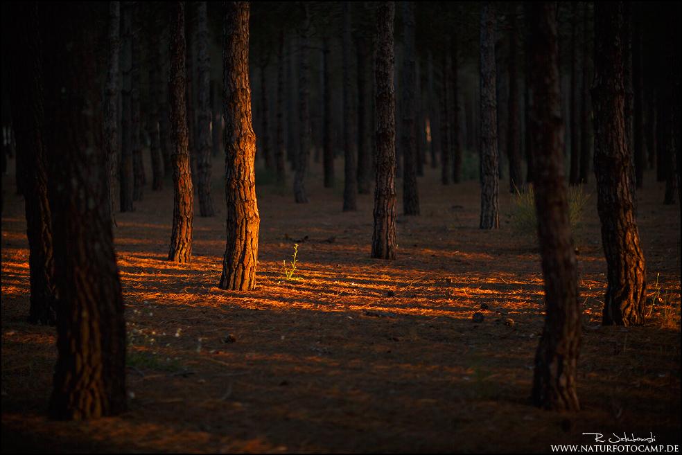 Im Pinienwald