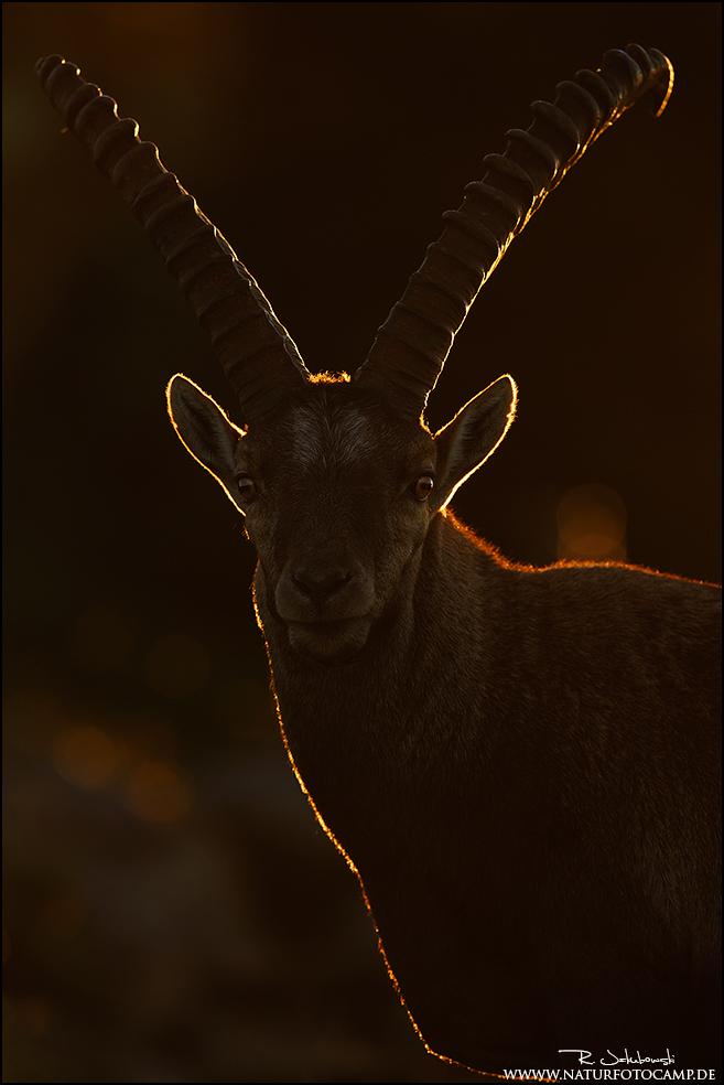 """GDT Naturfotograf des Jahres 2013 Kategorie Tierportraits 2. Platz """"Im Morgenlicht"""""""