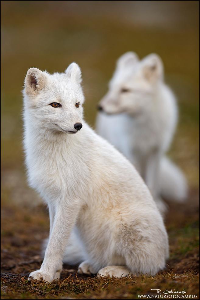 Vom Baummarder und Polarfuchs
