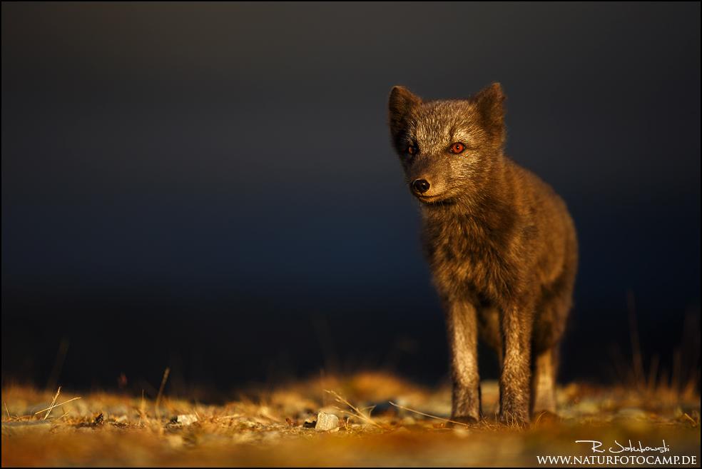 Zu Gast beim weißen Fuchs