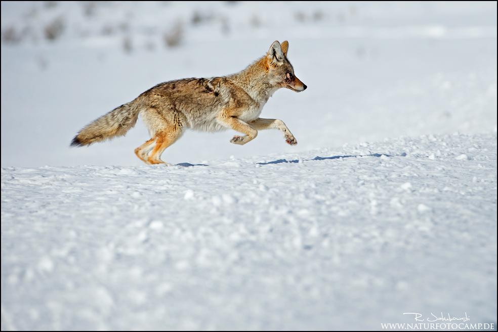 Vom Kojoten im Schnee