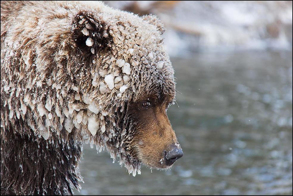 Grizzylbären im Herzen Kanadas