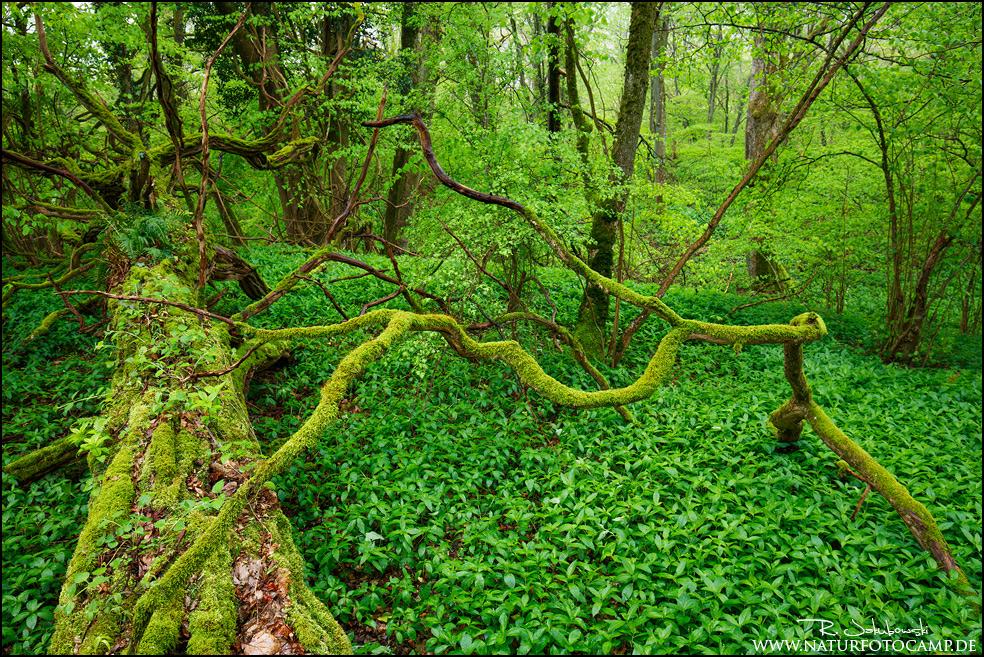 Saarländischer Urwald